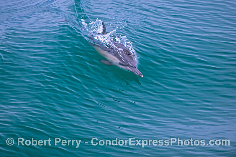 A surfing common dolphin (<em>Delphinus capensis</em>).