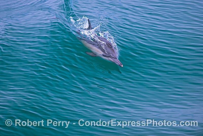 A surfing common dolphin (<em>Delphinus capensis</em>).