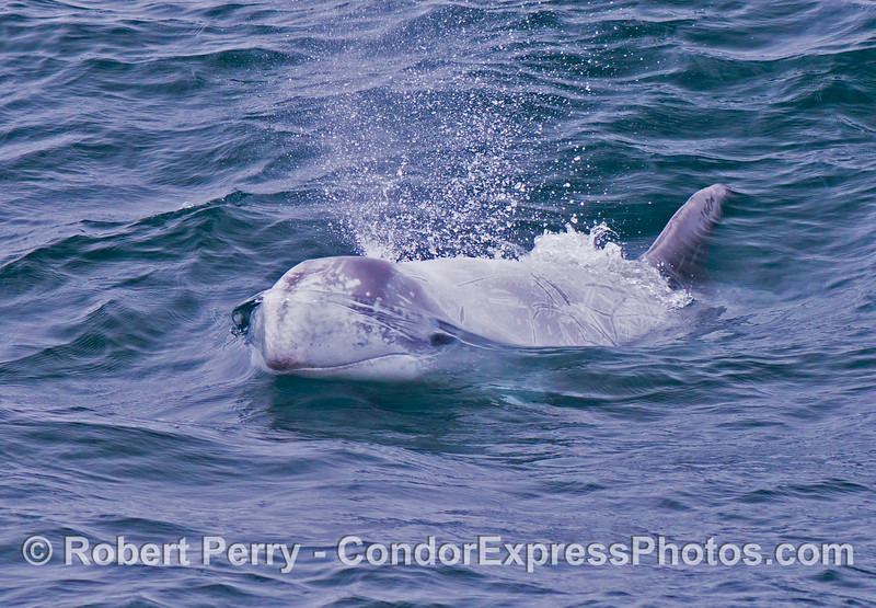 A friendly Risso's dolphin (<em>Grampus griseus</em>) heads directly for the camera lens.