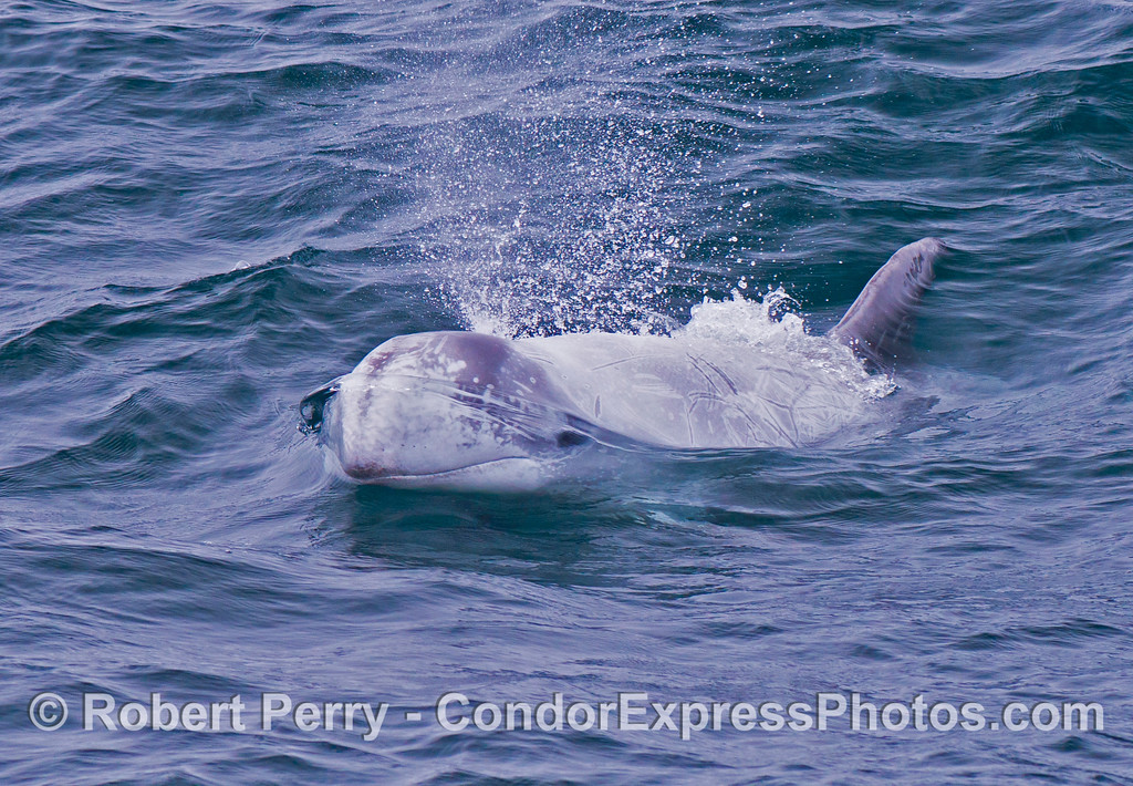 A friendly Risso's dolphin (<em>Grampus griseus</em>) heads directly for the camera lens.