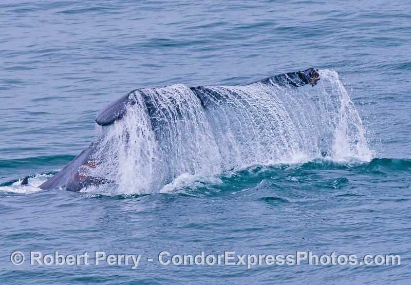 A humpback whale (<em>Megaptera novaeangliae</em>) flukes up and creates a nice waterfall.