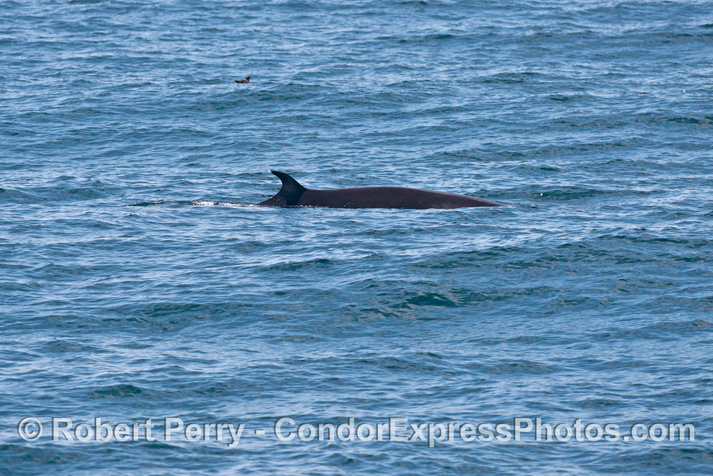 A more typical Minke whale (<em>Balaenoptera acutorostrata</em>) dorsal fin.  Notice that the fin is quite far back (posterior) on the body, as it is in the closely related blue whales and fin whales.
