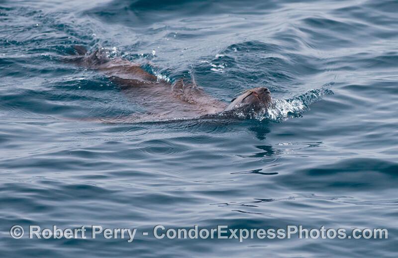 A California sea lion (<em>Zalophus californianus</em>) is seen swimming with its head turned sideways.