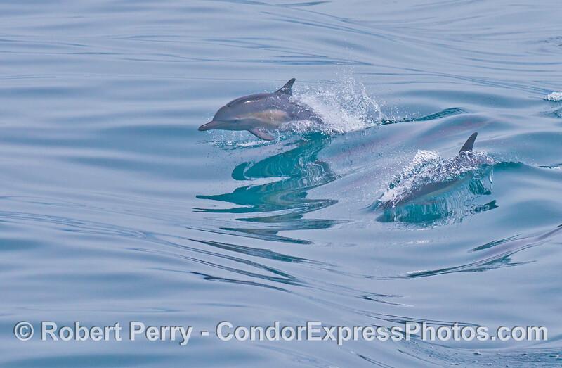 A common dolphin (<em>Delphinus capensis</em>) jumps over the waves.