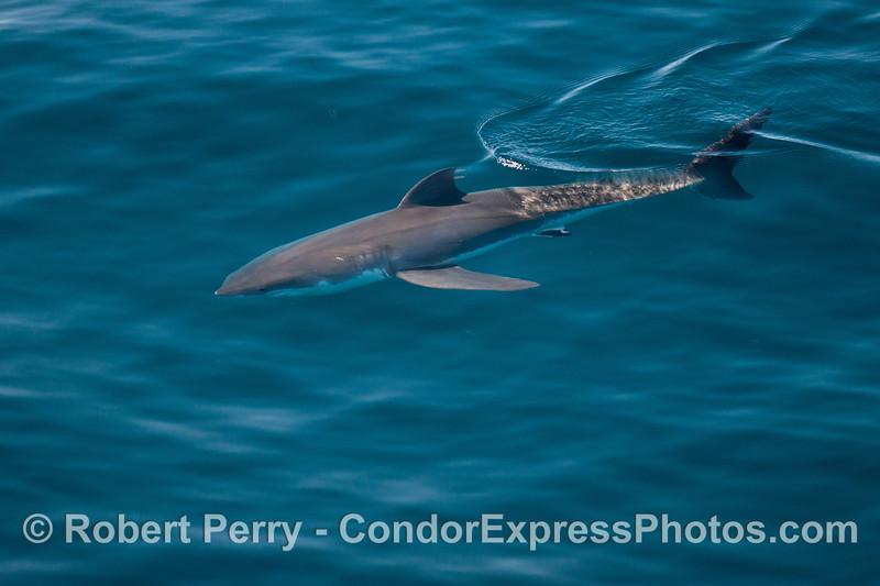 Mako Shark (<em>Isurus oxyrinchus </em>).