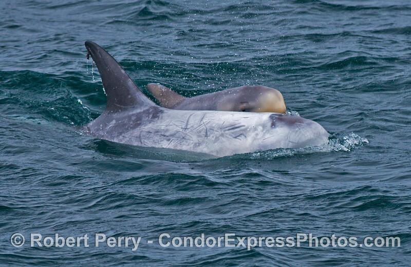 A mother (front) and  her calf (back) - Risso's dolphins (<em>Grampus griseus</em>).