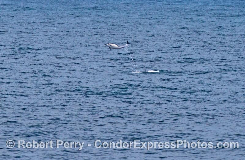 High flying acrobatics from a short beaked common dolphin (<em>Delphinus delphis</em>).