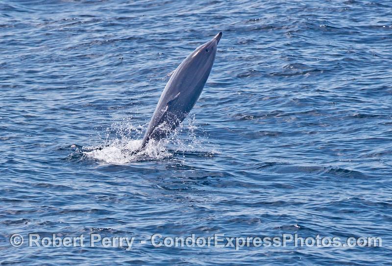A short beaked common dolphin (<em>Delphinus delphis</em>) walks on its tail.