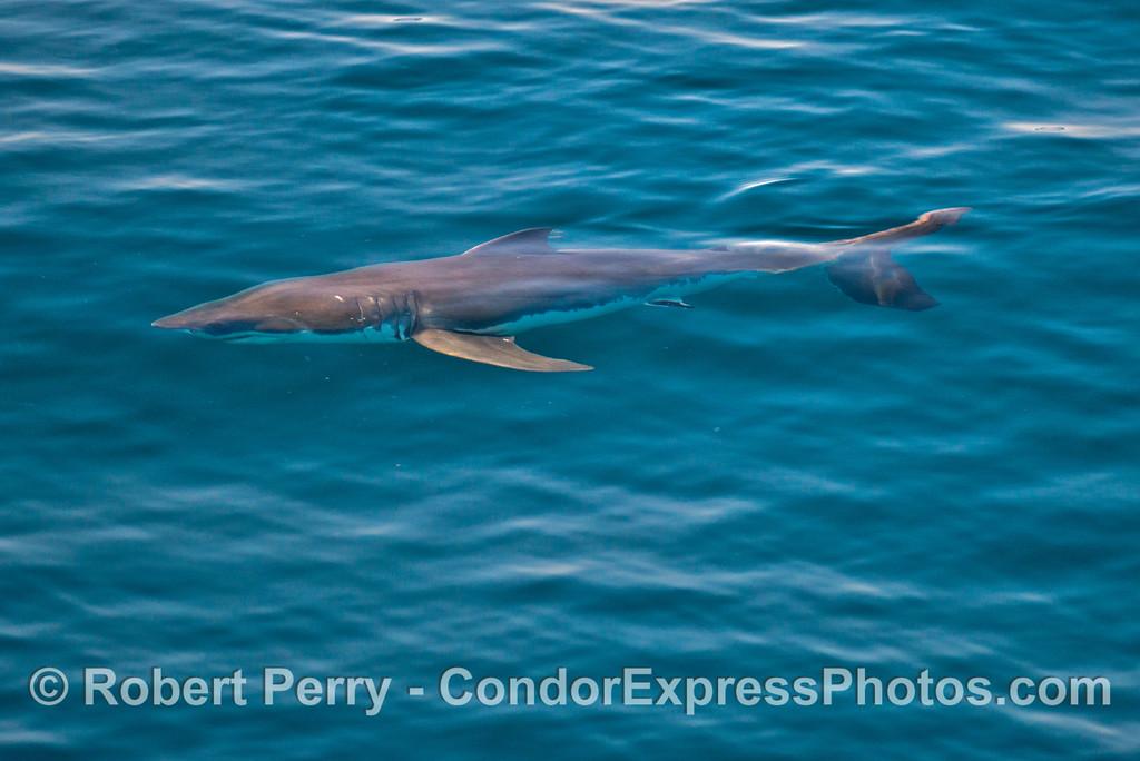 Mako Shark (<em>Isurus oxyrinchus </em>)