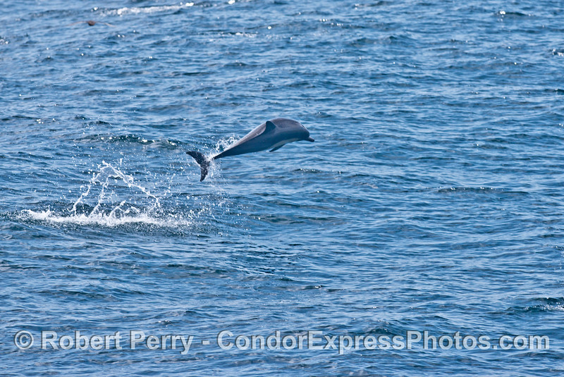 High flying acrobatics from a short beaked common dolphin (<em>Delphinus delphis</em>).