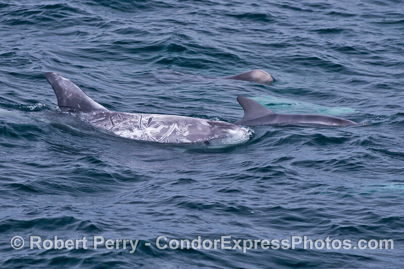 Two mother Risso's dolphins (<em>Grampus griseus</em>) and their calves.  (One mother is just below the surface and appears as a turquoise glow).