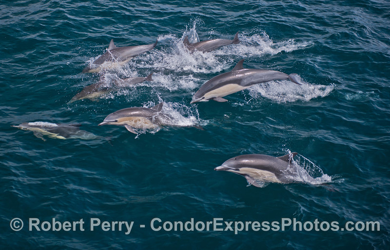 Short beaked common dolphins (<em>Delphinus delphis</em>).  Compare to the next image of long beaked commons.