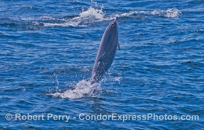 Tail walking from a short beaked common dolphin (<em>Delphinus delphis</em>).