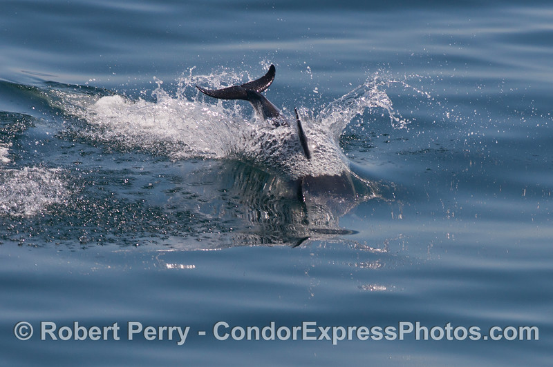 A long beaked common dolphin (<em>Delphinus capensis</em>) dives into a glassy ocean.