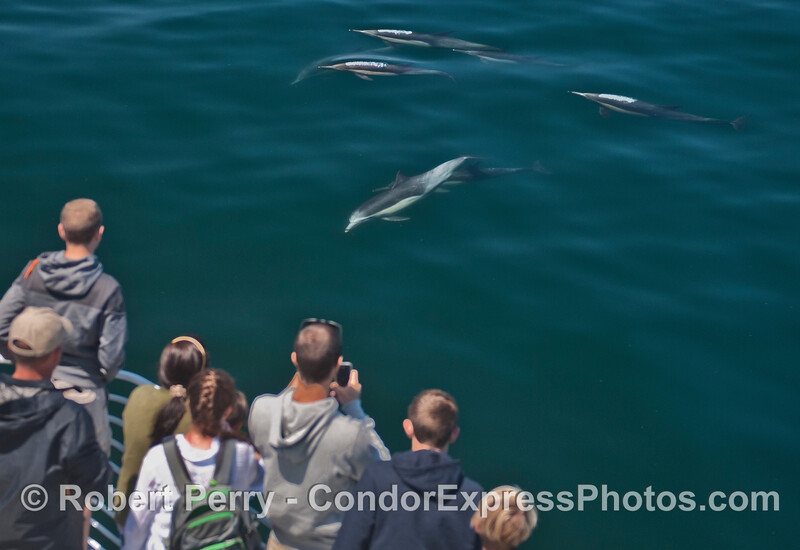 Long beaked common dolphins (<em>Delphinus capensis</em>) visit the humans.