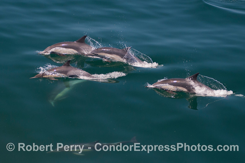 Long beaked common dolphins (<em>Delphinus capensis</em>).  Compare to the previous image of short beaked commons.