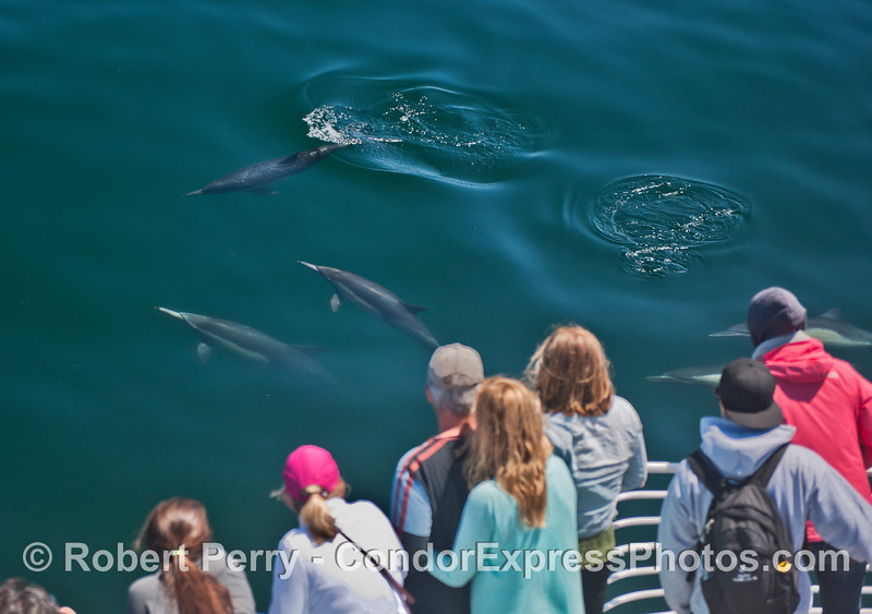 Humans get a great look at friendly long beaked common dolphins (<em>Delphinus capensis</em>).