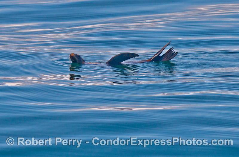 A solo rafting California sea lion (<em>Zalophus californianus</em>).