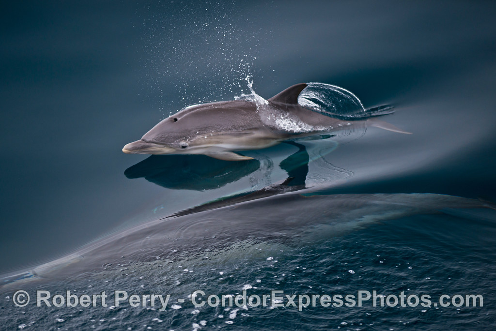 A common dolphin calf (<em>Delphinus capensis</em>).