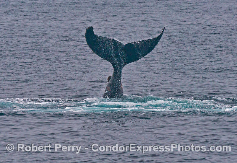 A lob-tailing humpback whale (<em>Megaptera novaeangliae</em>).