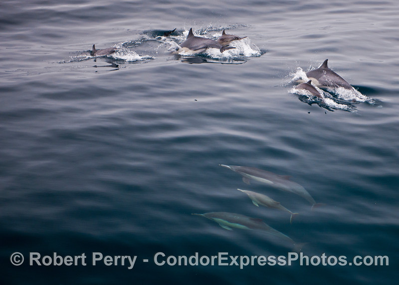 Common dolphins (<em>Delphinus capensis</em>), above and below the surface.