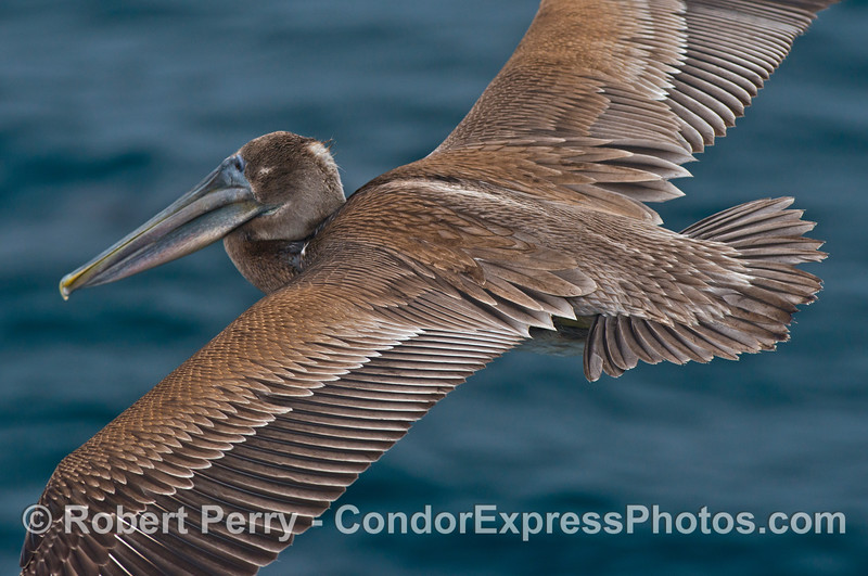 A brown pelican (<em>Pelecanus occidentalis</em>) in flight.