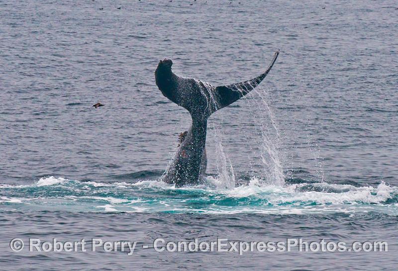 A humpback whale (<em>Megaptera novaeangliae</em>) lobs its majestic tail.