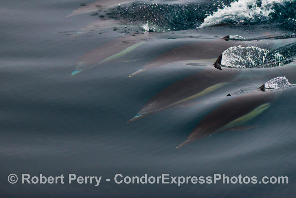 Six common dolphins (<em>Delphinus capensis</em>) ride a wave underwater.