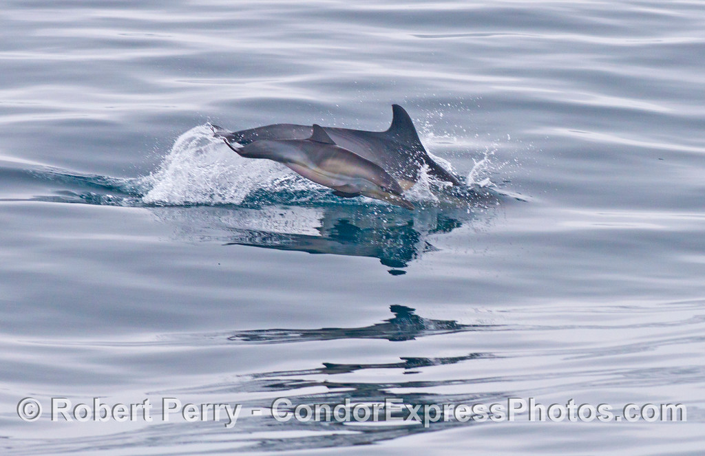 A young common dolphin (<em>Delphinus capensis</em>) calf leaps alongside its mother.