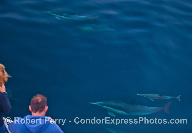 Common dolphins (<em>Delphinus capensis</em>) visit the humans.