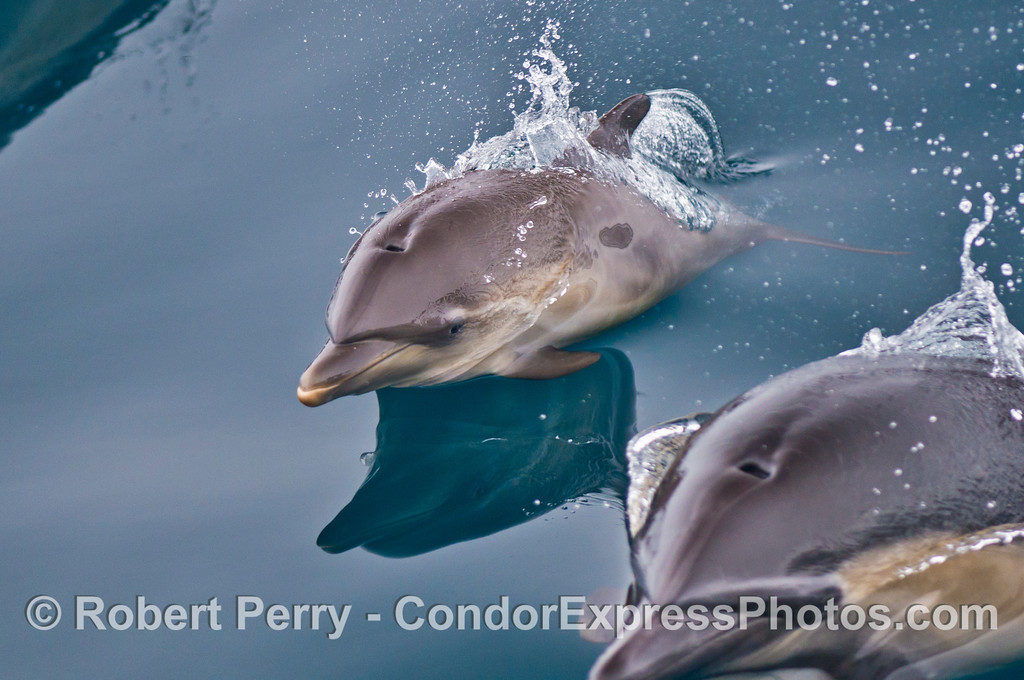 A close crop image of a common dolphin calf (<em>Delphinus capensis</em>) swimming along side its mother.  The full, wide image can be seen in the next photograph.