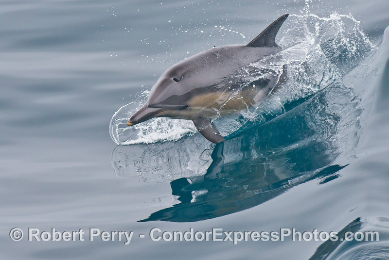 A common dolphin (<em>Delphinus capensis</em>) rides a mirror wave.