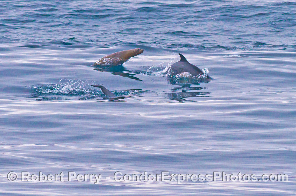 Common dolphins (<em>Delphinus capensis</em>) and a California sea lion (<em>Zalophus californianus</em>).