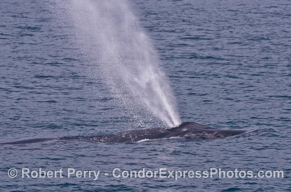 A humpback whale (<em>Megaptera novaeangliae</em>) spouts.