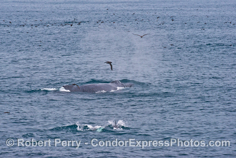 A humpback whale (<em>Megaptera novaeangliae</em>) spouts is seen with common dolphins (in front) and shearwaters (in back).