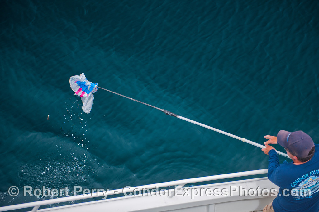 Captain Dave, working on deck today, uses a gaff to snag and remove the dead mylar balloon from the ocean.