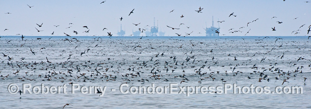 A panorama picture of huge masses of seabirds, dominated by sooty shearwaters (<em>Puffinus griseus</em>), congregated a few miles off western Ventura.