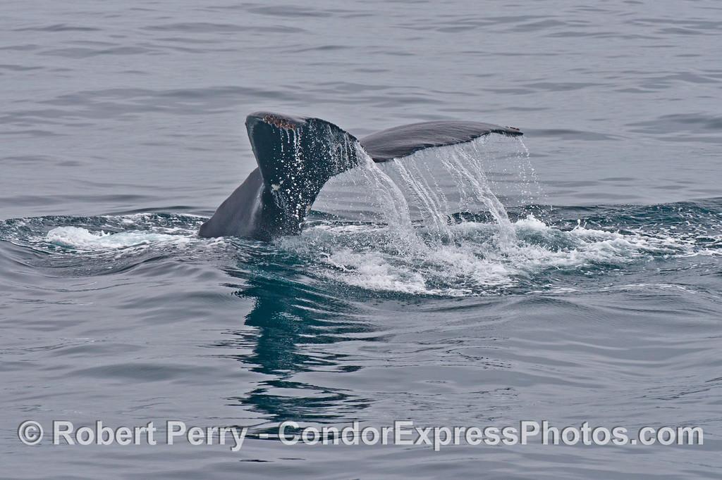Tail flukes of a humpback whale (<em>Megaptera novaeangliae</em>).