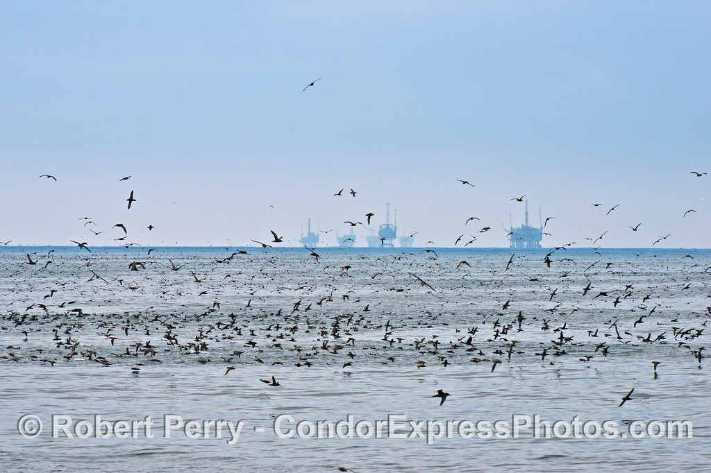 Huge masses of seabirds, dominated by sooty shearwaters (<em>Puffinus griseus</em>), congregate a few miles off western Ventura.