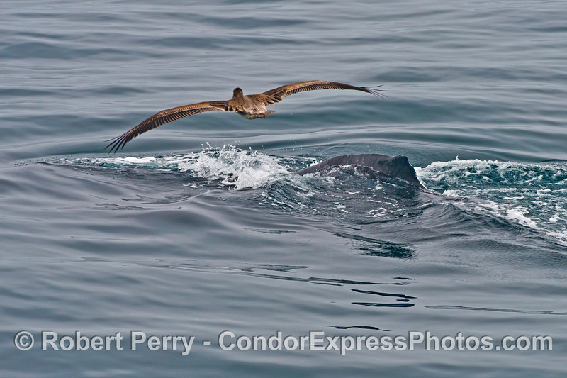 The tip of the dorsal fin of a humpback whale (<em>Megaptera novaeangliae</em>) with a curious brown pelican (<em>Pelecanus occidentalis</em>) flying over head.