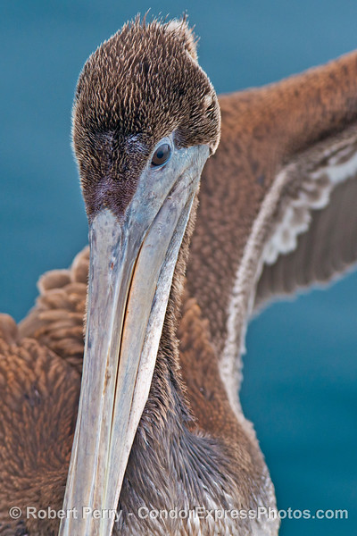 A close look at a  brown pelican (<em>Pelecanus occidentalis</em>) that landed on the boat.