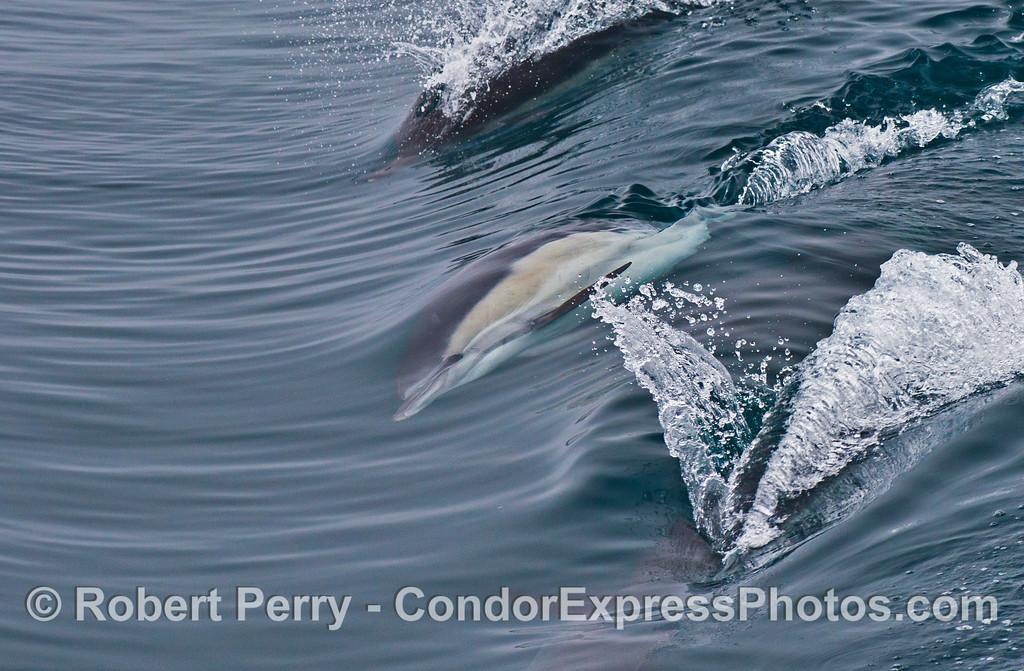 A common dolphin (<em>Delphinus capensis</em>) slides down a wave sideways.