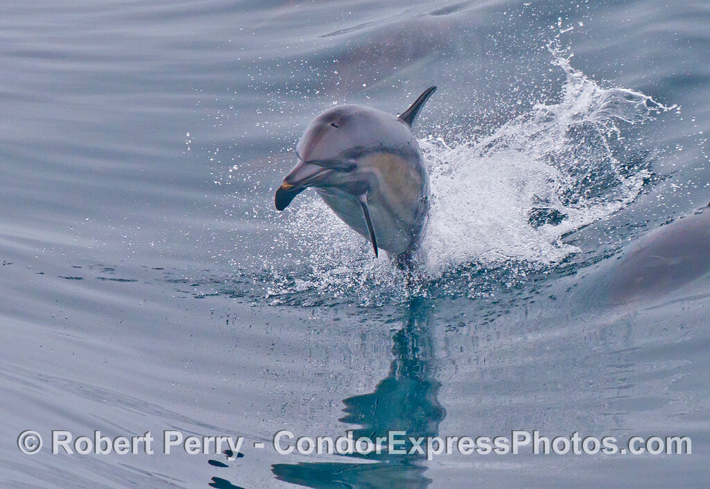 Up and away!  A common dolphin (<em>Delphinus capensis</em>) leaps.