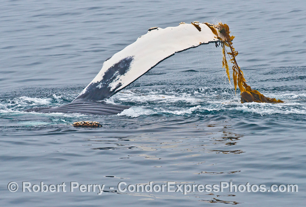 A humpback whale (<em>Megaptera novaeangliae</em>), upside down, plays with some drifting giant kelp (<em>Macrocystic pyrifera</em>) using its left pectoral flipper.