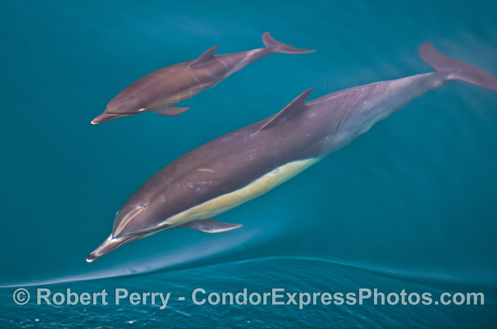 Mother and calf common dolphins (<em>Delphinus capensis</em>).