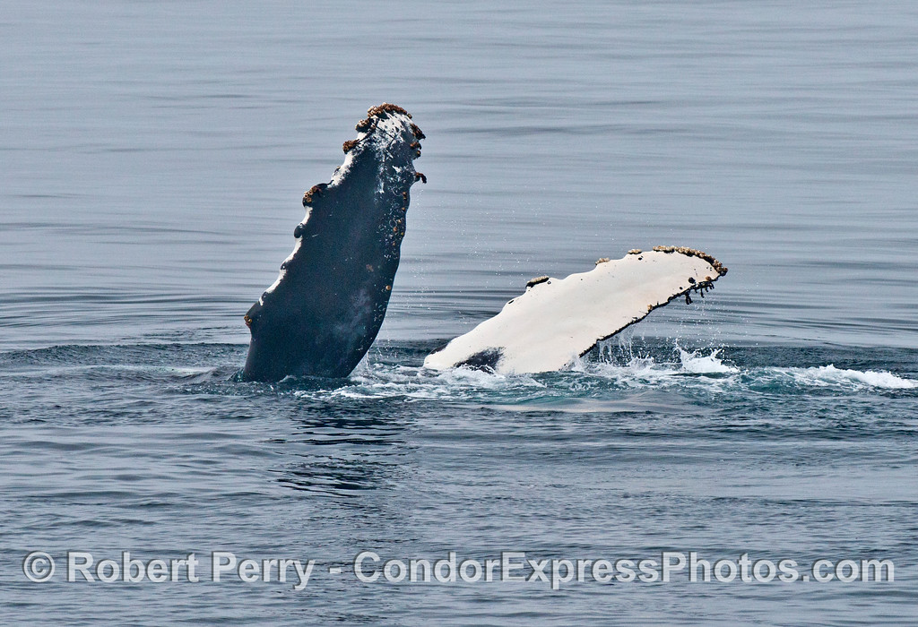 Our humpback whale (<em>Megaptera novaeangliae</em>) is captured completely upside down with both pectoral fins waving around in the air.