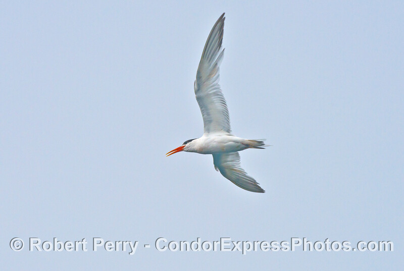 An elegant tern  (<em>Sterna elegans</em>) vocalizes as it flies.