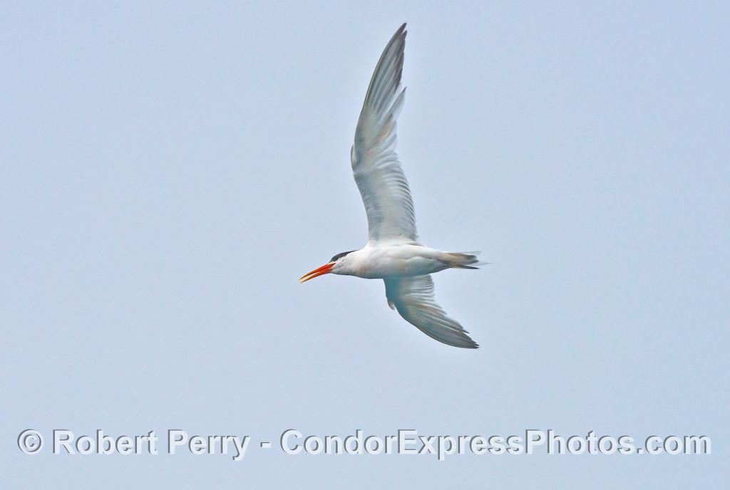 An elegant tern  (<em>Sterna elegans</em>) vocalizes as it flies.