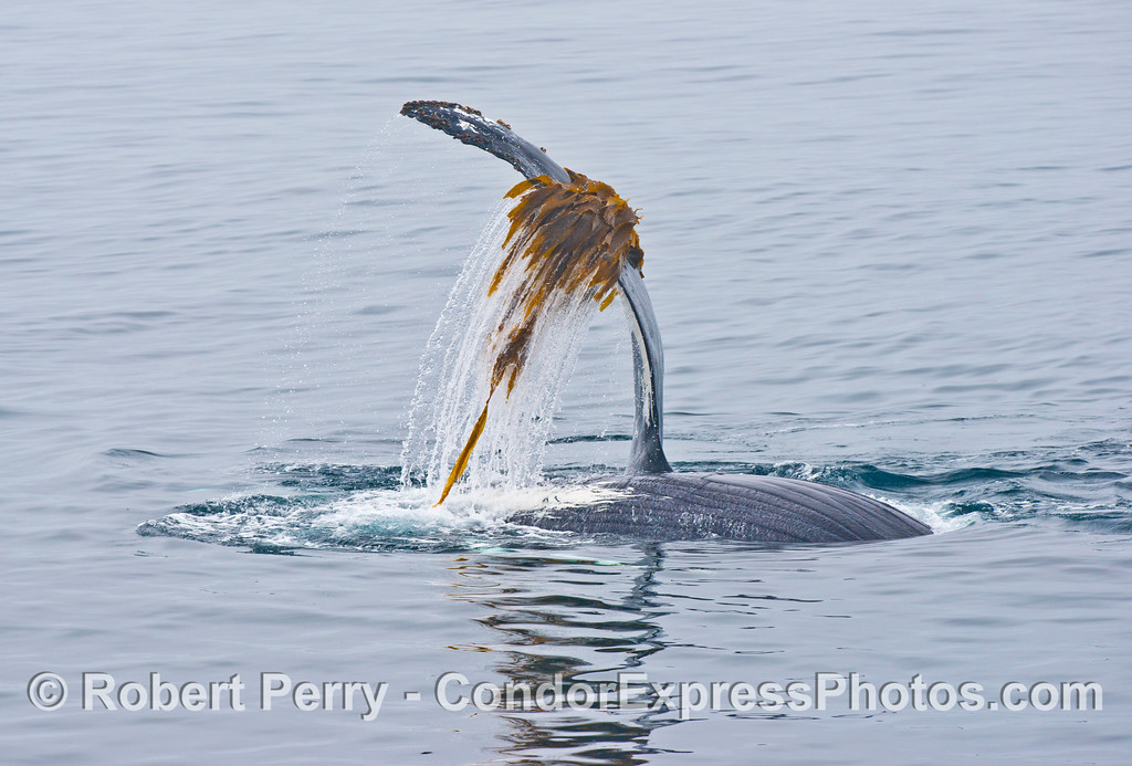 A humpback whale (<em>Megaptera novaeangliae</em>), upside down, plays with some drifting giant kelp (<em>Macrocystic pyrifera</em>).