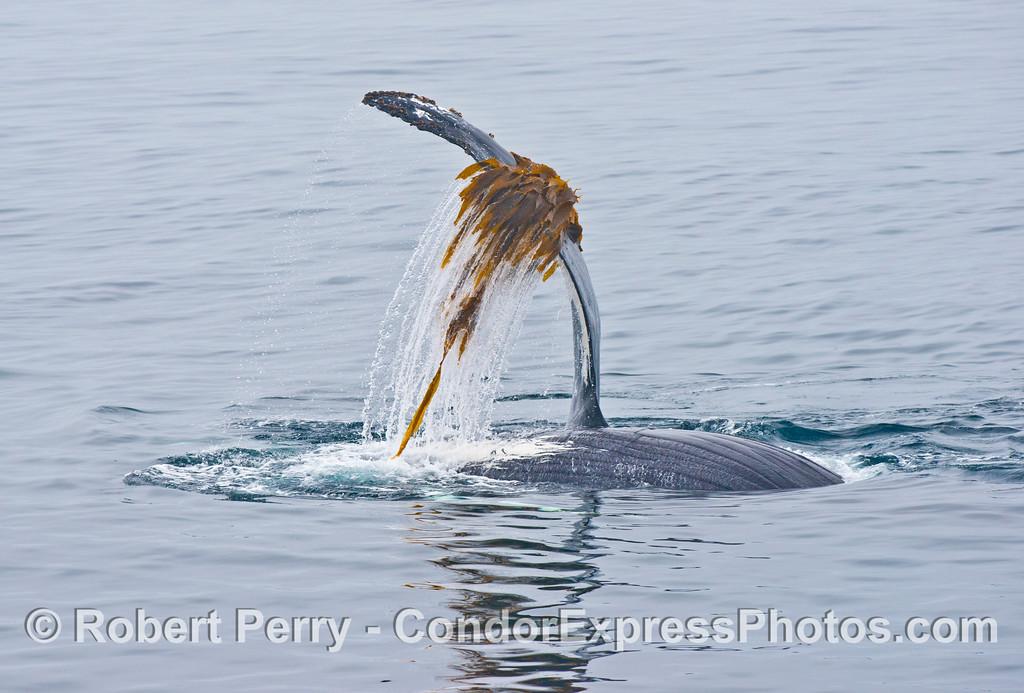 A humpback whale (<em>Megaptera novaeangliae</em>), upside down, plays with some drifting giant kelp (<em>Macrocystic pyrifera</em>).